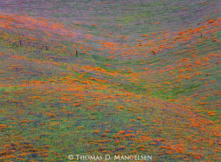 Violet lupine and bright orange poppies canvas the Tehachapi Hills in California.