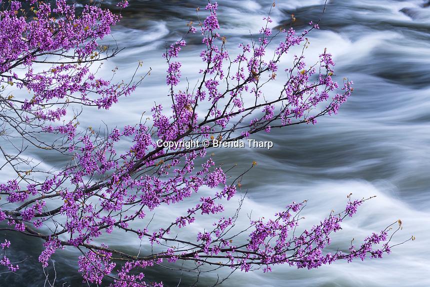 Redbud and a rushing Merced River, California.