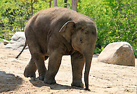 Stock image of a cute baby elephant walking in the Berlin Zoo.<br /> <br /> (For Editorial use only)