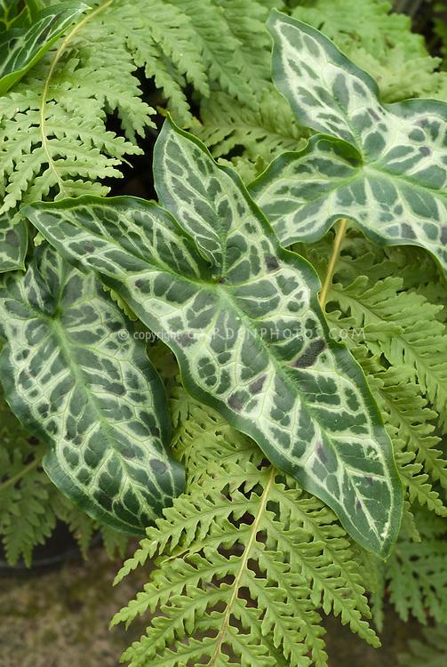 Arum italicum subsp italicum 'Spotted Jack'