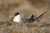 Long-tailed Jaeger (Stercorarius longicaudus) on its nest incubating eggs. Both sexes incubate and each sex has two brood patches. Incubating birds hold each egg between one foot and a corresponding brood patch. Yukon Delta National Wildlife Refuge, Alaska. May.