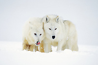 Arctic Wolves or Arctic Gray Wolves (Canis lupus) in winter.