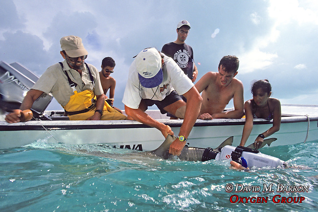 Jean de Marignac & Aya Tagging Lemon Shark With Sam Gruber, Rick, Jon & Joao In Boat, Peter Zuccarini Filming In Water