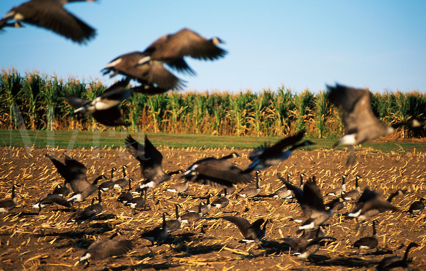 Flock of Canadian geese landing in a corn field.