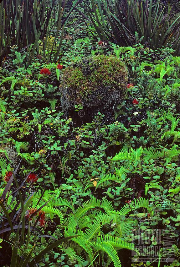 Kamakou Nature Conservancy Preserve - Pepeopae Bog with Ohia plants