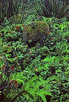 Kamakou Nature Conservancy Preserve - Pepeopae Bog with Ohia plants