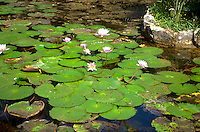 Lily pads.  Cozumel Mexico