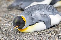 king penguin, Aptenodytes patagonicus, sleeping on the beach at Grytviken, South Georgia, South Atlantic Ocean