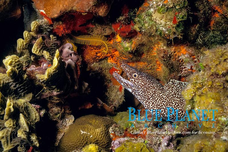 spotted moray eel, Gymnothorax moringa Cozumel Island, Yucatan, Mexico, Caribbean Sea, Atlantic