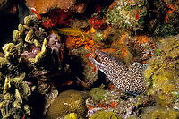 spotted moray eel, Gymnothorax moringa Cozumel Island, Yucatan, Mexico, Caribbean Sea, Atlantic