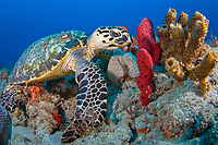 Hawksbill Turtle (Eretmochelys imbricata) in Palm Beach, Florida, USA, Atlantic Ocean