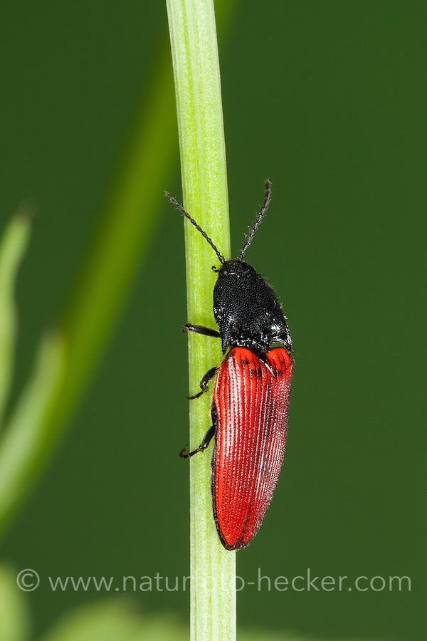 Roter Schnellkäfer, Rotdecken-Schnellkäfer, Ampedus spec., Cardinal click beetle, Schnellkäfer, Elateridae, Click beetles