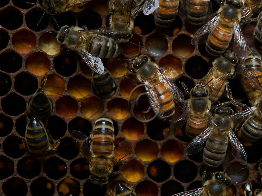 Bees on &ldquo;bee bread&rdquo;, transformed pollen with amazing properties.<br /> Des abeilles sur du &laquo; pain d&rsquo;abeille &raquo; du pollen transform&eacute; aux propri&eacute;t&eacute;s &eacute;tonnantes.