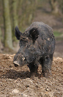 Wild Boar, Chipping, Lancashire.