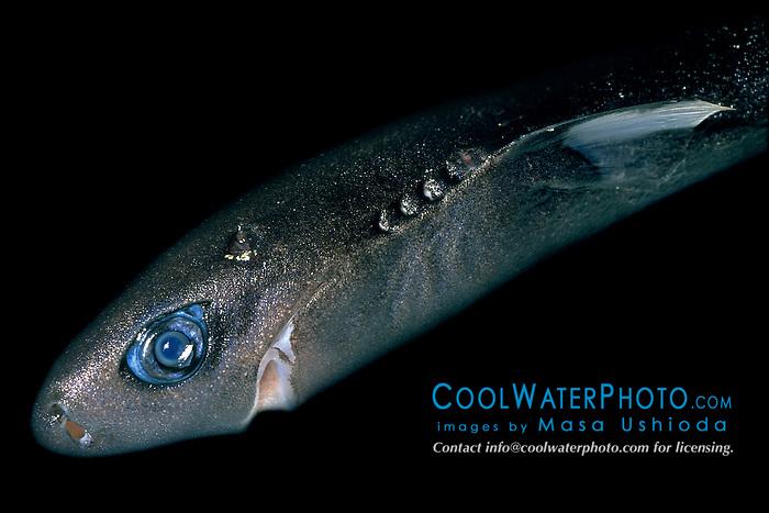 pygmy shark, female, Euprotomicrus bispinatus, the smallest shark species, Kona, Big Island, Hawaii, Pacific Ocean (deep sea specimen)