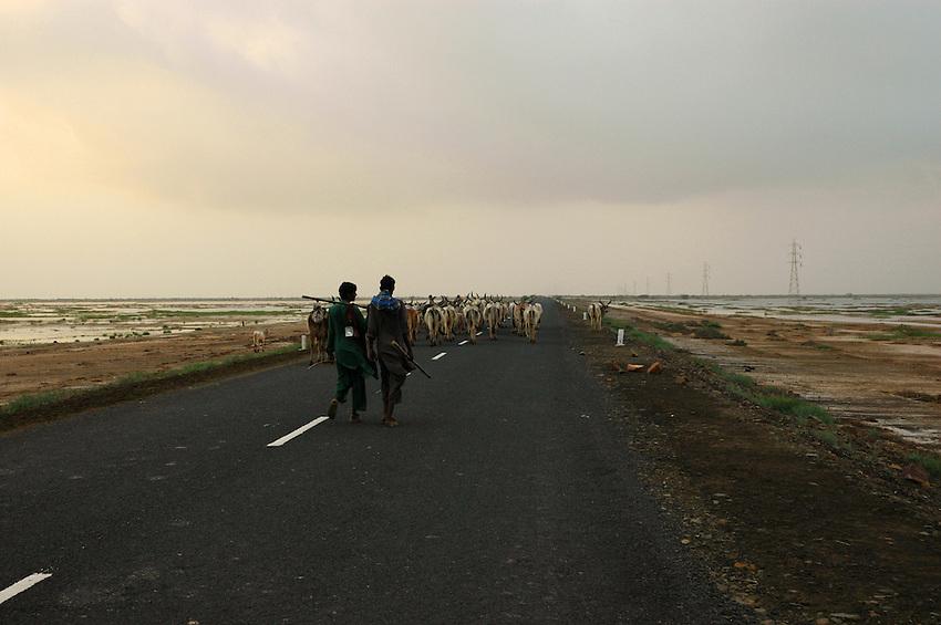 Herding cattle in Gujarat's Kutch district..Michael Benanav - mbenanav@gmail.com
