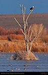 Bald Eagle at Sunset, Bosque del Apache Wildlife Refuge, New Mexico