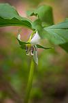 Nodding Trillium (Trillium cernuum) in Epping, New Hampshire, USA