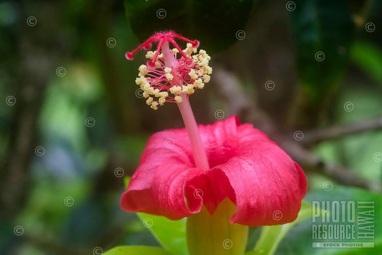 Kokiʻo ʻulaʻula (Hibiscus clayi) or Hawaiian red hibiscus, Kalopa State Park, Hamakua district of the Big Island.