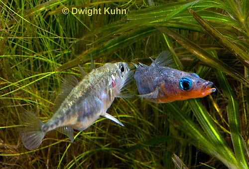 1S48-506z  Threespine Stickleback, male leading gravid female to nest after courtship dance, Gasterosteus aculeatus