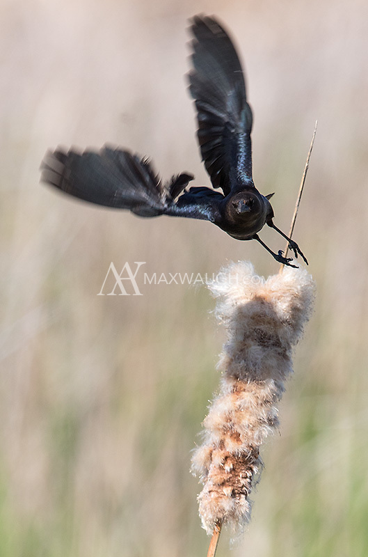 A Brown-headed cowbird launches itself from a cattail.