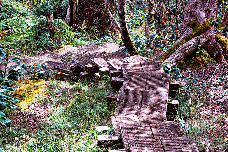 A pathway of steps along the Alaka'i Swamp Trail on the way to the Kilohana Lookout, Kaua'i. Parts of the trail are very steep and required the construction of steps to avoid a sea of mud in the rainy season.