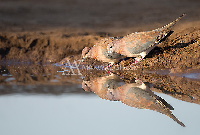Laughing doves were among many bird species we photographed at the Mashatu hide.