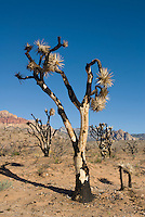 Burned Joshua trees, Yucca brevifolia. Red Rock Canyon National Conservation Area, Nevada