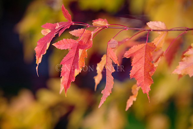 Red leaves of a quinella Maple bush in fall color