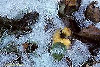 1I02-027a  Ice on fallen apple, leaves