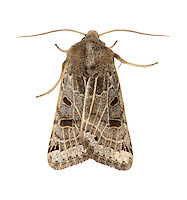 Lunar Underwing Omphaloscelis lunosa Length 18-20mm. A variable but aptly-named moth that rests with one forewing partly overlapping the other. Adult has forewings whose overall colour can range from grey-buff to dark brown. All individuals have dark cross bands and a network of pale lines. The pale hindwings have a dark half-moon patch. Flies August-October. Larva feeds on grasses. Widespread and common in southern and central Britain, but much more local further north.