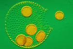 Volvox aureus Colonial Green Algae releasing a daughter colony. LM