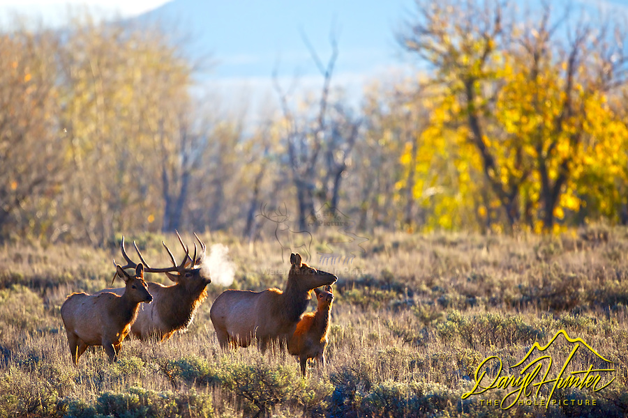 Backlit elk herd, Bugling bull elk,Grand Teton National Park, Jackson Hole Wyoming