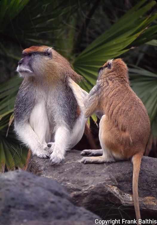 patas monkies grooming, Captive at San Francisco Zoo