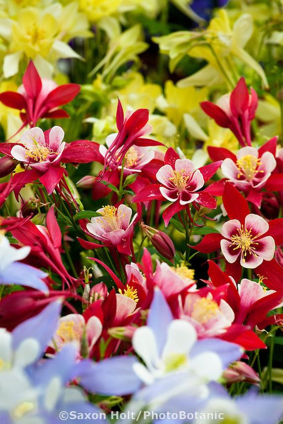 Columbine flowers, Aquilegia x caerulia 'Origami' - Red and White, annual flower