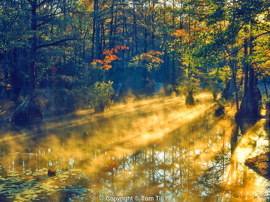Autumn Morning Fog in Cypress Swamp, Merchants Millpond State Park, North Carolina