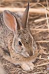 La Jolla, California; a young brush rabbit resting in the shade