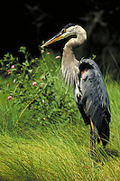 GREAT BLUE HERON, ASSATEAGUE ISLAND,VIRGINIA. ASSATEAGUE ISLAND VIRGINIA USA.