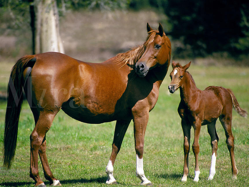 Arabian mare and foal.