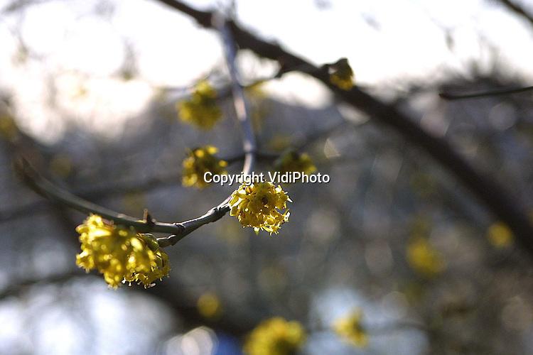 Foto: VidiPhoto..HEDEL - Officieel is het nog hartje winter, maar het relatief warme weer van de afgelopen dagen zet de natuur op z'n kop. In de luwte van de A2 bij Hedel is deze struik al volop aan het bloeien.