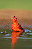 580980041 a wild male summer tanager pitanga rubra bathes in a small pond on the laguna seca ranch in the rio grande valley of south texas
