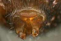 Fensterspinne, Finsterspinne, Kellerspinne, Spinndrüsen, Amaurobius fenestralis, Lace weaver spider, lace-webbed spider, window lace weaver, House spider mouthparts, Finsterspinnen, Fensterspinnen, Amaurobiidae