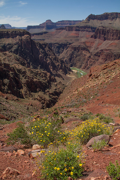 Flowers along the South Kaibab Trail descending Tonto Plateau, Grand Canyon National Park, northern Arizona. .  John offers private photo tours in Grand Canyon National Park and throughout Arizona, Utah and Colorado. Year-round.