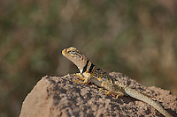 414390005 a wild male great basin or desert collared lizard crotaphytus insularis bicinctores sits on a rock outcrop in redding canyon in owens valley inyo county california united states