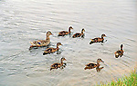 mother duck and seven ducklings swim in water along the shore of a pond searching for food