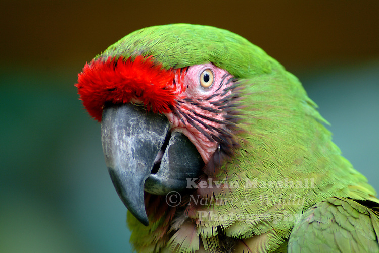 The Military Macaw (Ara militaris) is a large parrot and a medium-sized member of the macaw genus. Though considered vulnerable as a wild species, it is still commonly found in the pet trade industry. A predominantly green bird, it is found in the forests of Mexico and South America.