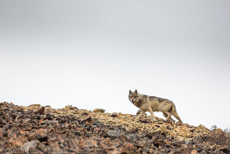 Gray wolf walks along a rocky mountain ridge near Polychrome pass in Denali National Park, Alaska.