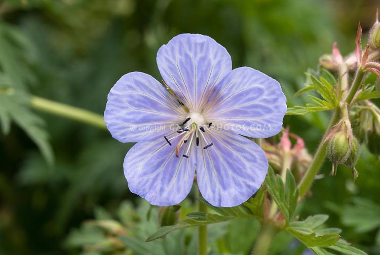Geranium pratense Mrs Kendall Clarke in flower, cranesbill, close up, blue lavender with white veins