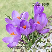 Gisela, FLOWERS, BLUMEN, FLORES, photos+++++,DTGK2085,#f#