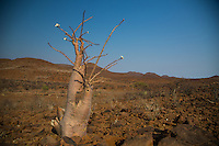 Namibian Bottle Tree in Flower near Palmwag, Namibia